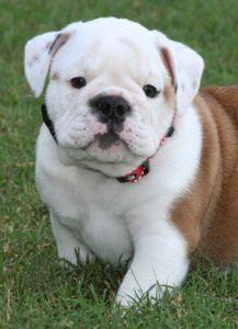 Chopper ❤️ English Bulldog puppy