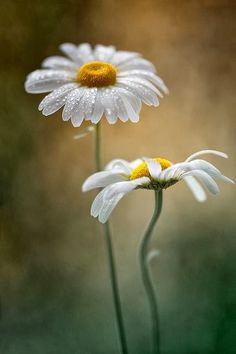 syflove:  daisies