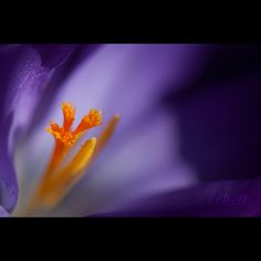 Megha Duta | Splendour | macro + flower crocus purple yellow black