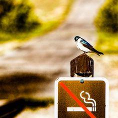 #nosmoking #금연 #새 #bird #yellowstone #yellowstonepark #trip #friends #travel #travelphotographer #landscape #follow4follow #follow #followme #follow_me #맞팔환영 #맞파선팔