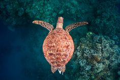 Photo sous marine - photographe sous marin / Tortue Marine - Flying over the reef Turtle Swimming, Green Turtle, Zootopia, Flora And Fauna, Animal Photography, Underwater, Diving, Cool Photos, Wildlife