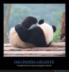 ¡Hay esperanza! El panda gigante ya no está en peligro de extinción - Ha dejado…