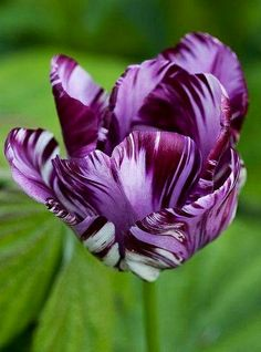 Purple tulip via www.Facebook.com/PurpleIsWho