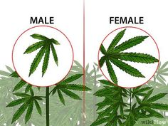 How to Identify Female and Male Marijuana Plants. If you are growing marijuana for medicinal purposes, you need to know how to identify female and male marijuana plants. Almost all growers prefer female marijuana plants because only. Cannabis Plant, Cannabis Oil, Cannabis Edibles, Growing Weed, Cannabis Growing, Planta Cannabis, Weed Plants, Marijuana Facts, Medical Marijuana