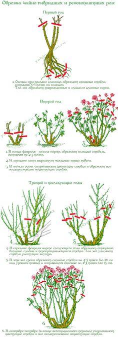 обрезка-чайно-гибридных-и-ремонтантных-роз (по ссылке обрезка всех остальных групп роз)