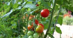 Come coltivare i pomodori: la mini- guida