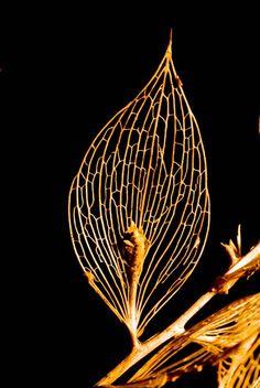 ❦ Butchers broom (Ruscus aculeatus) leaf skeleton. ❦