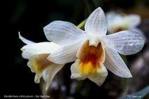 Dendrobium christyanum (Đại bạch hạc) 02.jpg (907 KB)