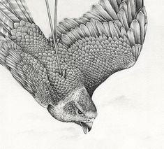 THE LAST FALCON  Graphite pencil on cotton paper. Drawing by Amy Dover of a Peragrine Falcon for exhibition about wildlife trafficking