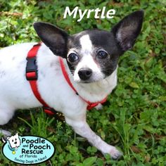 Myrtle is a 9-year-old, 7-pound Chihuahua girl.  Poodle and Pooch Rescue - Adoptable Dogs - www.pprfl.org