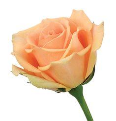 versilia rose   Delaware Valley Wholesale Florist