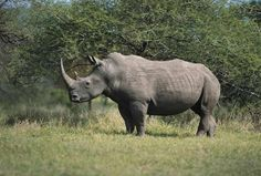 White Rhino, in Mpumalanga, South Africa, © South African Tourism