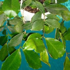 Hoya dischorensis $$$ IML 0112 Hoya dischorensis - $10.00 : Hoya Plants and Cuttings