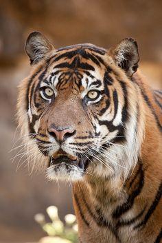 by Arjan Haverkamp ~ Sumatran tiger**