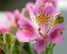 Alstroemeria (Peruvian lily or lily of the Incas)