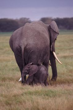Baby Elephants are Definitely the Cutest Animals in the World! Check Out Our Curated Gallery of Cute Baby Elephant Pictures. Mother And Baby Elephant, Cute Baby Elephant, Elephant World, African Elephant, Big Animals, Animals Of The World, Baby Elephant Pictures, Elephant Species, Animals