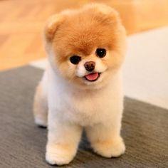 Boo, el perro más famoso de Instagram