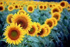 Google Image Result for http://www.photographyblogger.net/wp-content/uploads/2010/10/sunflower6.jpg