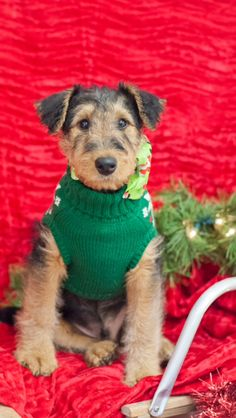 My 3 month old airedale terrier Fisher!