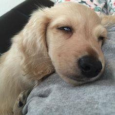 白目w #insta#instagood#instadog #犬#いぬバカ部 #いぬ#愛犬#いぬのいる暮らし #ミニチュアダックス#クリーム#わんぱく #すやすや#パピー #puppy#天使#angel#cute#cawaii#japan