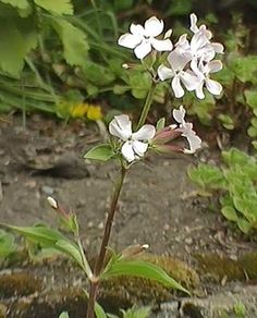 Suopayrtti, Saponaria officinalis - Kukkakasvit - LuontoPortti