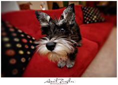 Lucy by April Ziegler #Miniature #Schnauzer