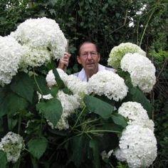 Hortensja drzewiasta 'Annabelle' Hydrangea arborescens Hydrangea Paniculata, Annabelle Hydrangea, Shade Garden, Plants, Ferns, Gardens, Hydrangeas, Tree Structure, Natural Selection