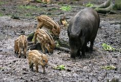 File:Sus scrofa 1 - Otter, Owl, and Wildlife Park.jpg