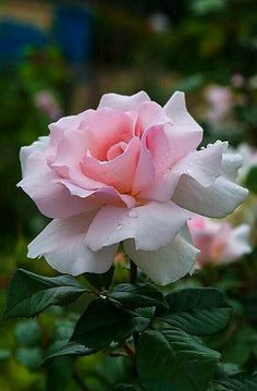 Other photos will be deleted. Beautiful Rose Flowers, My Flower, Flower Art, Beautiful Flowers, Purple Roses, Pink Flowers, Flowers Nature, Rosa Rose, Morning Flowers