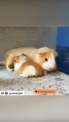 Baby Guinea Pigs, Breastfeeding, Baby Feeding, Breast Feeding, Nursing