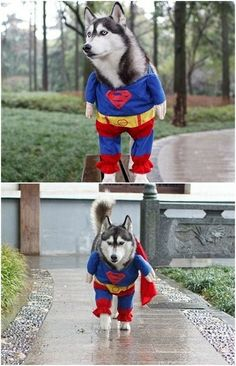 Siberian husky in superman costume :) REPIN to spread the LOLs! #dogs #dog #puppy #funny #pets #husky #huskies