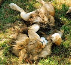 chillaxing lion king