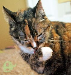 Banner is 16years old, very gentle mannered, very loving. Though she is past her playful days, her favorite enjoyment is being petted and sleeping nearby. She is looking for her Furrever home! Please message us or A Better Life Animal Rescue for more information on adopting Banner! #animaladoption #animalrescue #kitty #cat #pet