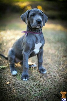 Great dane puppy #blue #adorable