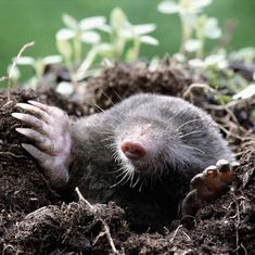 Stop Moles From Tearing up Your Yard  --- [I think he's CUTE!]