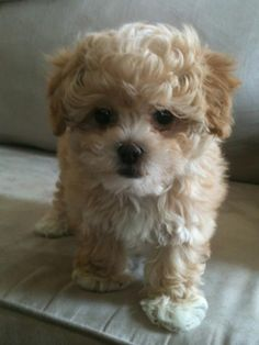 Toy Shih-poo Shih tzu and toy poodle