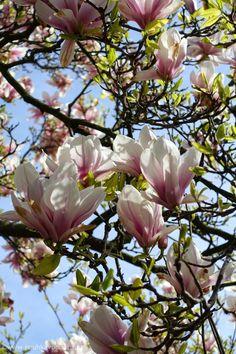 There are beautiful magnolia tree blossoms in the amusement park Gröna Lund in Stockholm, Sweden in May. / Magnoliapuu täydessä kukassa Gröna Lund huvipuistossa Tukholmassa toukokuussa 2015.