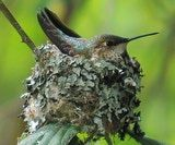 Hummingbird nests are carefully constructed for strength and flexibility.