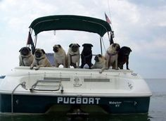 Come on, Pugs! Where are your life jackets!? Hasn't anyone taught you about proper water safety?