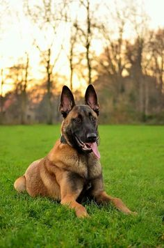 Belgium Shepard Elmo from the Netherlands father is Big Roy a police dog