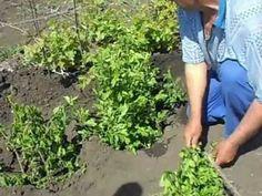 Посадка зелёных саженцев винограда.