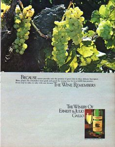 "Description: 1979 ERNEST & JULIO GALLO vintage magazine advertisement ""nature provides"" -- Because nature provides only the promise of great wine in these delicate Sauvignon Blanc grapes, the winemaker must guide and guard the young wine for it to fulfill that promise. Every step we take, we take with care because The Wine Remembers ... The Winery Of Ernest & Julio Gallo -- Size: The dimensions of the full-page advertisement are approximately 10.25 inches x 13 inches (26 cm x 33 cm)…"