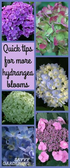 Ever wonder why your hydrangea doesn't bloom well? Use these four simple tips to increase your chances of seeing more beautiful blooms. #flowergardening