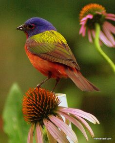 """Painted Bunting"""