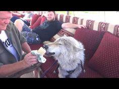 Волк Боря любит мороженое