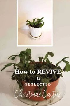 Growing Plants Indoors How to Revive a Neglected Christmas Cactus ~ Southern Gardening Gal Using The Christmas Cactus Plant, Easter Cactus, Cactus Flower, Cactus Cactus, Cactus Decor, Flower Beds, Plant Decor, Cactus House Plants, Container Plants