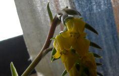 Dovrebbe essere infiorescenza del sempervivum... almeno la pianta da dove spunta è della stessa famiglia anche se questo fiore è sicuramente diverso da quelli tipici della specie...