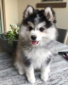 Husky Mix, Puppy Husky, Pomsky Puppies, Welsh Corgi Puppies, Pomeranians, Huskies Puppies, Maltese Dogs, Puppys, White Husky Puppy