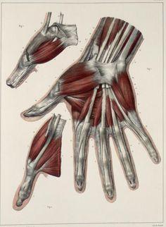 [Traité complet de l'anatomie de l'homme comprenant la medecine opératoire (pinterest.com/pin/287386019941966857/), par le docteur Marc Jean Bourgery. Illustration by Nicolas Henri Jacob, 1831-1845].