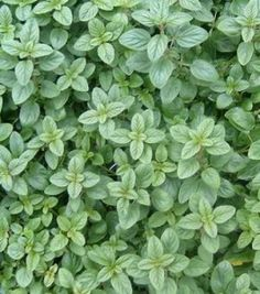 Oregano- tea made with oregano for loss of appetite, nervousness, indigestion, bloating, flatulence, coughs, urinary problems, bronchial problems, headaches, swollen glands, relieve fevers, diarrhea, vomiting, and jaundice.